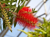 One species of the bottlebrush, genus Callistemon. Family  Myrtaceae.     Distribution  Australia  Hidden Lake Gardens February 20, 2012 (Canon 50D)