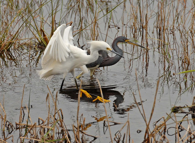 Description - Tricolored Heron and Snowy Egret <b>Title - All Together Now</b> <i>- Kathleen Fosselman</i>