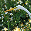 Description - Great Egret in Spanish Needle Title - Egret Among the Daisies - Bridget Lyons