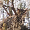 Description - Great Horned Owl Title - Were you looking for me? - Shannon M. Burrows