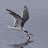 Title - Black Skimmer Skimming - Ruth Pannunzio