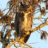 Title - Great Horned Owl - John Block