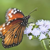 Title - Monarch Butterfly on Blue Mist Flower - Susan Taylor