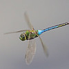 Title - Blue Dasher Dragonfly 2nd Place - Tom Rasmussen