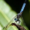 Title - Blue Dasher Dragonfly - Barbara Weiss