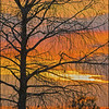Description - Cypress Tree at Sunset <b>Title - Fall Cypress</b> <i>- Phoenix Marks</i>