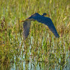 Description - Tricolored Heron <b>Title - Blue Flight</b> <i>- Rick Berger</i>