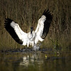 Description - Wood Stork <b>Title - Splash</b> <i>- Debbie Rubin</i>