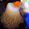 Description - Caracara <b>Title - Our Guest Show Bird</b> <i>- Herbert Froehlich</i>