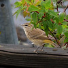 Description - Palm Warbler <b>Title - Spring Bird</b> <i>- Lauren VanArman</i>