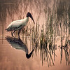 Description - Wood Stork <b>Title - Wood Stork</b> <i>- Herb Zaifert</i>