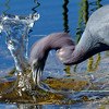 Description - Little Blue Heron <b>Title - Splash!</b> <i>- Rick Berger</i>