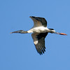 Description - Wood Stork <b>Title - Graceful Flight</b> <i>- Rick Berger</i>