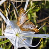 Description - White Peacock Butterfly on Spider Lily <b>Title - White Peacock Butterfly</b> <i>- Ed Mattis</i>