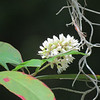 Description - White Vine Milkweed and Spanish Moss <b>Title - Harbinger Of Spring</b> <i>- Margaret Zuber</i>