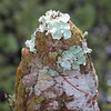 Description - Baton Rouge and Foliose Lichens on Cypress Tree Knee <b>Title - Lichen-crowned Cypress Knee</b> <i>- Margaret Zuber</i>