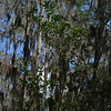 Description - Cypress Trees and Spanish Moss <b>Title - Cypress Swamp</b> <i>- Sid Rotter</i>