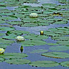 Description - White Water Lilies <b>Title - Monet's Water Lilies II</b> Honorable Mention <i>- Rick Schofield</i>
