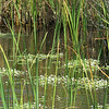 Description - Cattails and Floating Hearts <b>Title - Tiny Water Lilies</b> <i>- Margaret Zuber</i>