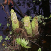 Description - Moss on Cypress Tree Knee, Swamp Fern and Water Spangles <b>Title - Mossy Trio</b> <i>- Margaret Zuber</i>