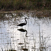 Description - Tricolored Heron <b>Title - Mirror Mirror</b> <i>- Sarah Apicella</i>