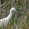 Description - Immature Little Blue Heron <b>Title - Searching for Fish</b> <i>- Adam Kersten</i>