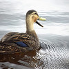 Description - Mottled Duck <b>Title - Honker</b> Honorable Mention <i>- Dion Sellitti</i>