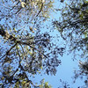 Description - Cypress Trees <b>Title - Looking Up</b> <i>- Devan Sellitti</i>