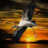 <b>Title - Wood Stork at Sunrise</b> <i>- Herbert Zaifert</i>