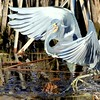 Description - Tricolored Heron <b>Title - Walk on Water</b> <i>- Thomas Quaranta</i>