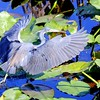 Description - Tricolored Heron <b>Title - Liftoff</b> <i>- Thomas Quaranta</i>