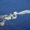 Description - Tricolored Heron <b>Title - Take Off</b> <i>- Thomas Quaranta</i>