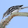 <b>Title - Black and White Warbler</b> 1st Place <i>- Ruth Pannunzio</i>