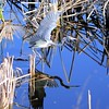 Description - Tricolored Heron <b>Title - Reflecting Pool</b> <i>- Thomas Quaranta</i>