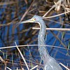 <b>Title - Tricolored Heron</b> <i>- Jeffrey Hall</i>