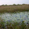 <b>Title - White Water Lilies</b> <i>- Barry Mintzer</i>