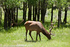 Elk in Rocky Mountain Nat'l Park  Filename: CEM008920-RMNP-CO-USA.jpg