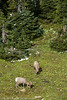 Big Horn Sheep in Glacier National Park  Filename: CEM06445-GlacierNP-MT-USA.jpg