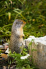 Ground Squirrel in Glacier National Park  Filename: CEM06492-GlacierNP-MT-USA.jpg