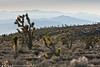 Joshua trees near Pahrump  Filename: CEM007998-Pahrump-NV-USA.jpg