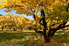 Fall at Cherry Orchard at Capitol Reef