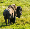 Buffalow(s) - Bison(s)