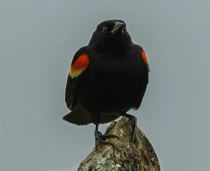 Red -Winged Blackbird