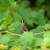 Brown Violet-Ear Hummingbird