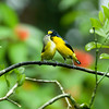 Yellow-Throated Euphonisas