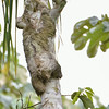 Brown Throated Sloth