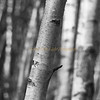 Birch Trees-Autumn