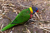 Grounded Lorikeet