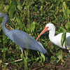 Little Blue Heron with White Ibis