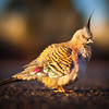 © Douglas Remington - Ethereal Light Photography, LLC. All Rights Reserved. Do not copy or download  Australian crested pigeon in the outback.